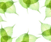 Leaves isolated on white background — Stock Photo