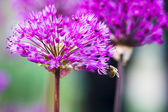 Bee on a violet flower — Stock Photo
