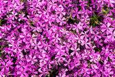 背景の上の装飾のためのバイオレットの花 — ストック写真