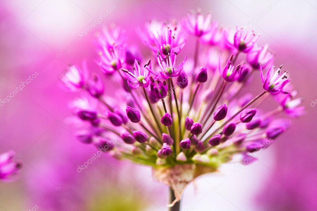 Abstract violet flowers on field  — Stock Photo #4170961