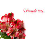 Red flowers isolated on white background — Stock Photo