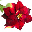 Stock Photo: Christmas flower poinsettiisolated on white background