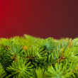 Branch of Christmas tree on red - Stock Photo