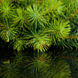 Branch of Christmas tree with reflection - Stock Photo