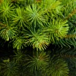 Branch of Christmas tree with reflection - 