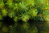 Branch of Christmas tree with reflection — Stock Photo
