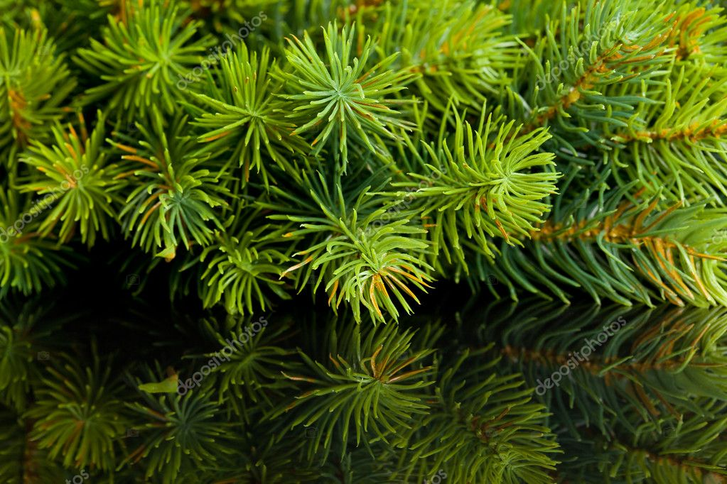 Branch of Christmas tree with reflection — Stock Photo #4495997