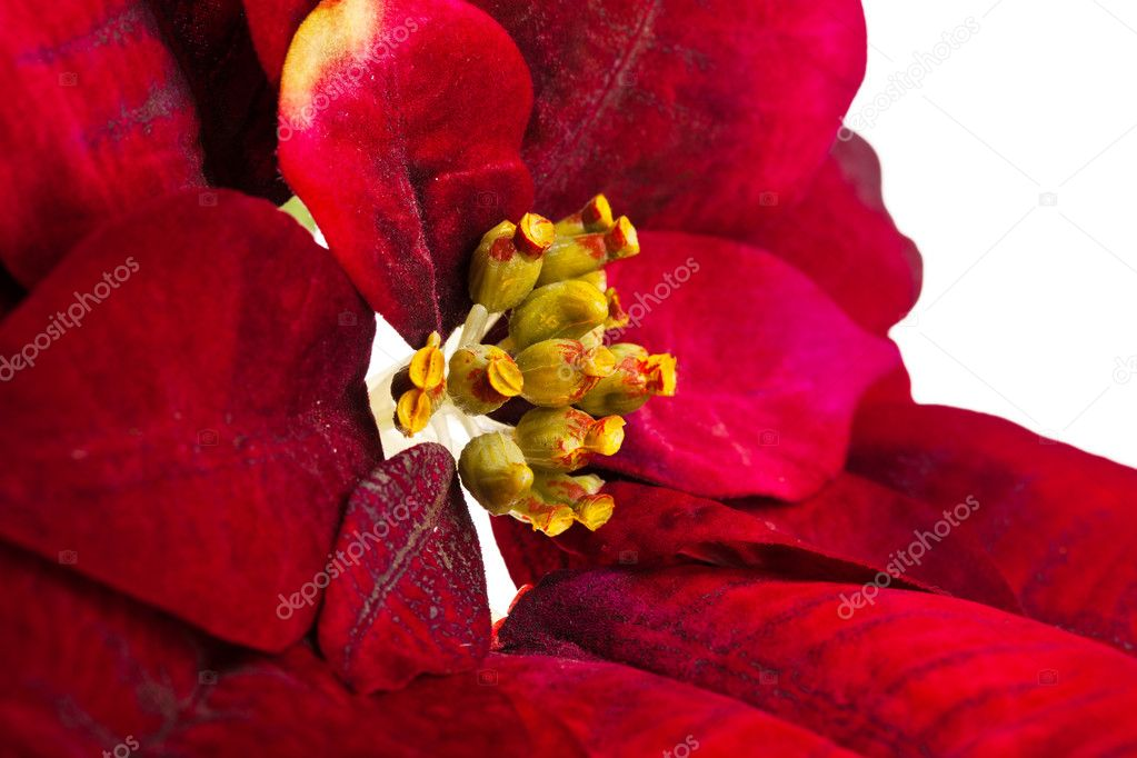 Christmas flower poinsettia isolated on white background   Stock Photo #4505597