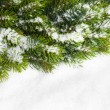 Branch of Christmas tree with snow - Foto de Stock