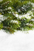 Branch of Christmas tree with snow — Stock fotografie