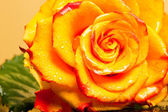 Yellow rose isolated on orange background — Stock Photo