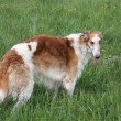Stock Photo: Russiborzoi