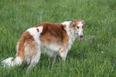 Russian borzoi — Stock Photo