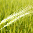 closeup of wheat — Stock Photo #5274084
