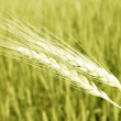 Closeup of wheat — Stock Photo
