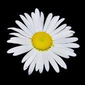 Portre siyah üzerinde papatya çiçek — Stockfoto