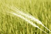 Closeup of wheat — Stock Photo