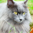 Beautiful gray cat with yellow eyes — Stock Photo
