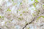 White blossom in spring — Stock Photo