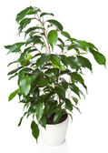 Ficus benjamina isolated — Stock Photo