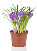 Crocus flower in pot isolated — Stock Photo