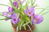 Crocus flower in pot — Stock Photo