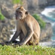 The monkey on a background of rocks — Stock Photo