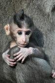 Monkey baby (Macaca fascicularis). Bali, Indonesia. — Stock Photo