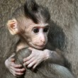 Monkey baby (Macaca fascicularis). Bali, Indonesia. - Stock Photo