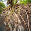 Stock Photo: Ancient root