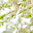 Beautiful spring tree flowers — Stock Photo