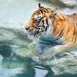 Picture of a bengal tiger near the water — Stock Photo #5311103