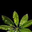 Water drops on fresh green leaves. Isolated on black background — Stock Photo