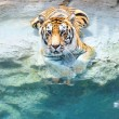 Picture of a bengal tiger near the water — Stock Photo #5311108