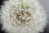 Head of dandelion, macro — Stock Photo
