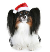 Papillon breed dog in red christmas hat — Stockfoto