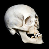 Scull — Stock Photo
