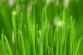 Pšenice tráva — Stock fotografie