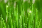 Weizen-gras — Stockfoto