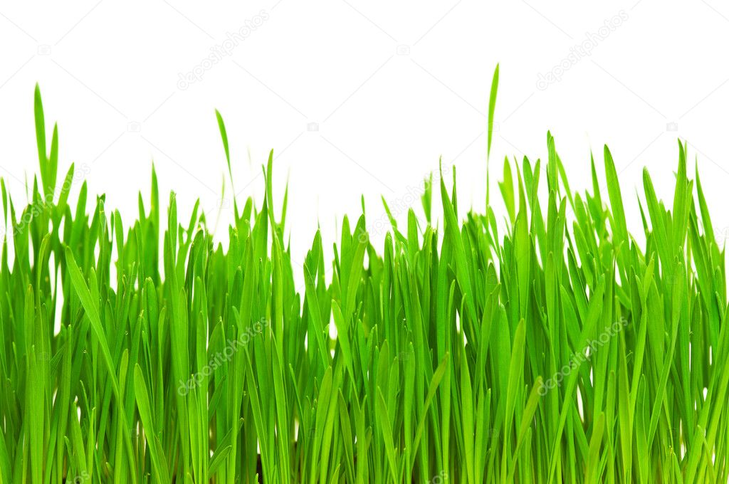 Fresh green wheat grass isolated on white background — Stock Photo #5242056
