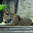 Amur Leopard (Panthera pardus orientalis) — Stock Photo