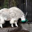 Foto Stock: Mountain goat in Moscow zoo