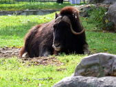 Muskox in Moscow zoo — Stock Photo