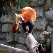 Stock Photo: Ailurus fulgens