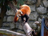 Ailurus fulgens — Stock Photo