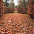 Hedges of beech - 