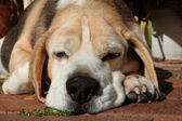 Beagle Hound Dog — Stock Photo