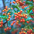 Bunch of ripe ashberry — Stock Photo
