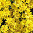 Yellow chrysanthemums — Stock Photo #4347087