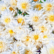 Chrysanthemum flowers — Stock Photo #4347109